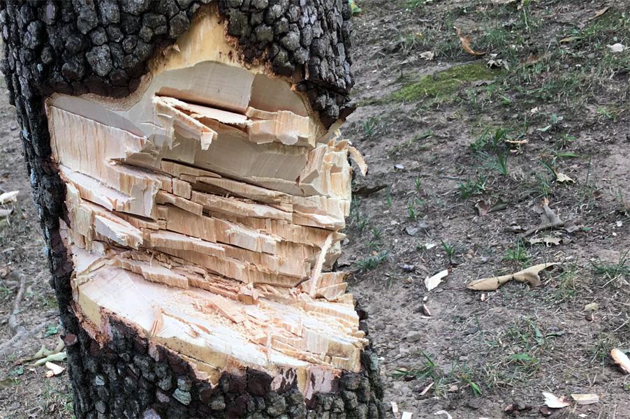 tree-notch-dogwood